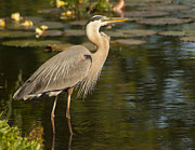 Pictures Photo Originals - Great Blue Heron Waiting by John Wright