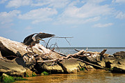2009 Art - Great Blue Heron Wings Outstretched by Rebecca Sherman