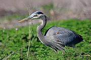 Gbh Posters - Great Blue Heron Poster by Wingsdomain Art and Photography