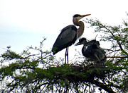 Fledgling Posters - Great Blue Heron with Fledglings II Poster by Suzanne Gaff