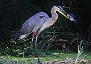 Great Blue Heron With His Catch Print by Paulette  Thomas