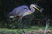 Great Blue Heron With The Catch Of The Day Print by Thomas Photography  Thomas