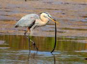 Pasco County Framed Prints - Great Blue Heron Wrestles a Snake Framed Print by Barbara Bowen