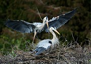 Heron Art - Great Blue Herons Nesting by Sabrina L Ryan