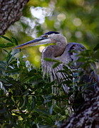 Roost Art - Great Blue In A Tree by Robert Frederick
