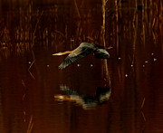 Bog Prints - Great Blue In Rusty Bog Print by Robert Frederick
