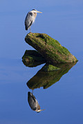 Great Birds Posters - Great Blue Reflection Poster by Mike  Dawson