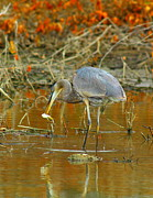 Shorebird Photos - Great Blue With Catfish by Robert Frederick