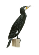 Great Drawings - Great Cormorant by Lionel Portier
