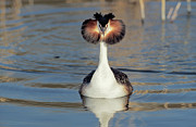 Frontal Metal Prints - Great Crested Grebe Podiceps Cristatus Metal Print by Danny Ellinger