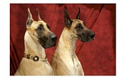 Great Dane Digital Art - Great Dane 569 by Larry Matthews