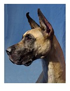 Great Dane Digital Art - Great Dane 892 by Larry Matthews