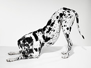 Color Bending Framed Prints - Great Dane Bending Down Framed Print by Michael Blann