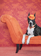 High Society Posters - Great Dane (canis Lupus Familiaris) On Couch Poster by Catherine Ledner
