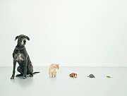 Dog And Cat Posters - Great Dane, Cat, Guinea Pig, Tortoise And Lettuce Leaf In Line Poster by Oppenheim Bernhard