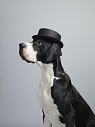 Great Dane Portrait Prints - Great Dane Dog Print by Dan Burn-Forti