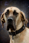 Great Dane Portrait Posters - Great Dane Dog Portrait Poster by Ethiriel  Photography