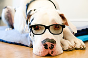 Great Dane Portrait Prints - Great Dane Dog, Sunglasses, Laying Low Print by Sharon Vos-Arnold