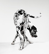 Great Dane Framed Prints - Great Dane Framed Print by Michael Blann