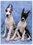 Pups Digital Art - Great Dane pups by Maxine Bochnia