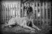 Brindle Prints - Great Dane Rufus Print by Lila Fisher-Wenzel