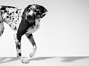 Dog Walking Prints - Great Dane Walking Print by Michael Blann