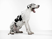 Great Dane Framed Prints - Great Dane Yawning Framed Print by Michael Blann