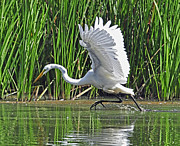 Rodney Campbell - Great Egret   Ardea alba...