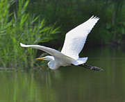 Rodney Campbell - Great Egret  