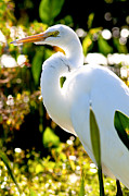 David Adamson - Great Egret 1