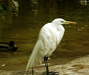 Bird Photography Photos - Great Egret 2 by Cheryl Young