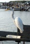 Hawk Photographs Prints - Great Egret 25 Print by Joyce StJames