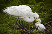 Susan Photos - Great Egret and Chick by Susan Candelario