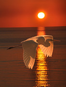 Greece Mixed Media Prints - Great Egret at sunset Print by Eric Kempson