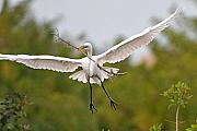 With Originals - Great Egret Carrying Stick to Nest by Alan Lenk