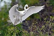 Egret Originals - Great Egret Coming In for Landing by Alan Lenk