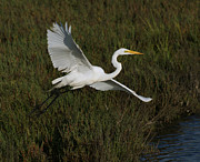 Great Birds Posters - Great Egret Poster by Ernie Echols