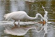 Egret Originals - Great Egret Fishing by Alan Lenk