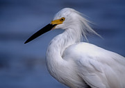 Garuna Liu - Great Egret