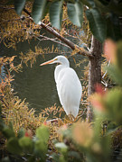 Great Birds Posters - Great Egret  in Cypress Poster by Patrick M Lynch