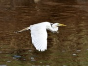 Great Birds Prints - Great Egret in Flight Print by Al Powell Photography USA