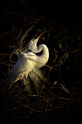 Breeding Posters - Great Egret in great light Poster by Rob Travis