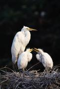 Great Egret In Nest With Young Print by Natural Selection David Ponton