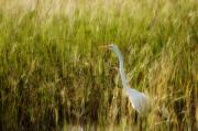 Ardea Framed Prints - Great Egret in the Morning Dew Framed Print by Rich Leighton