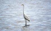 Egret Originals - Great Egret by Kenneth Albin