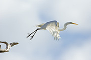 Great Birds Posters - Great Egret Lift Off Poster by Patrick M Lynch