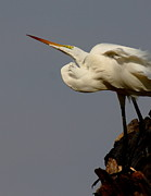 Wade Prints - Great Egret On Roost Print by Robert Frederick