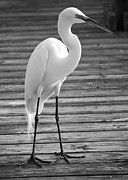 Egret Photos - Great Egret on the Pier - Black and White by Carol Groenen