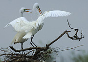 Bird Photo Framed Prints - Great Egret Pair Framed Print by Bob Christopher
