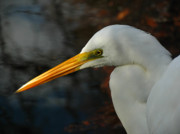Corkscrew Art Prints - Great Egret Portrait Print by Juergen Roth